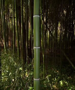 Japanese Timber Bamboo