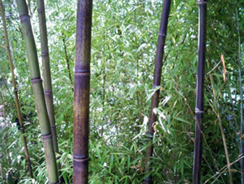 Buy Black Bamboo Sacramento CA