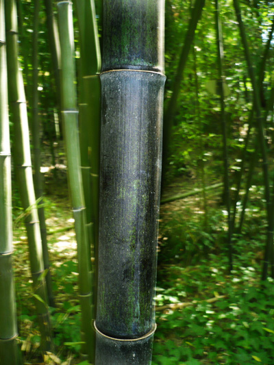 Black Bamboo Stem